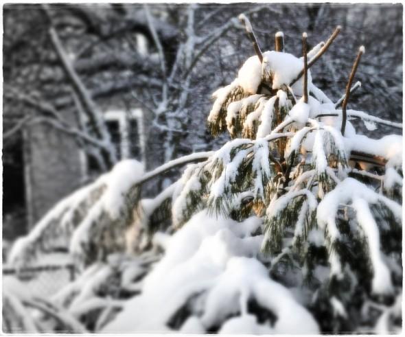 Morning sun on snow covered pine (cjzurcher)